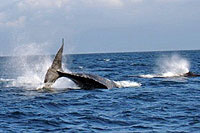 Whale Watching in Puerto Vallarta